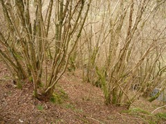 Suitable dormouse habitat